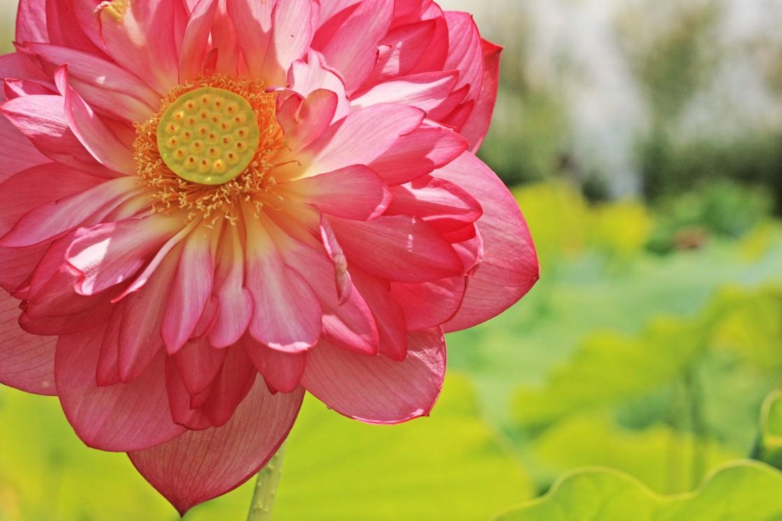 lotus sml