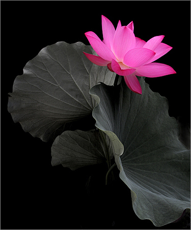 Lotus_Flower_IMG_6843