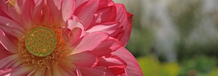 dali lotus
