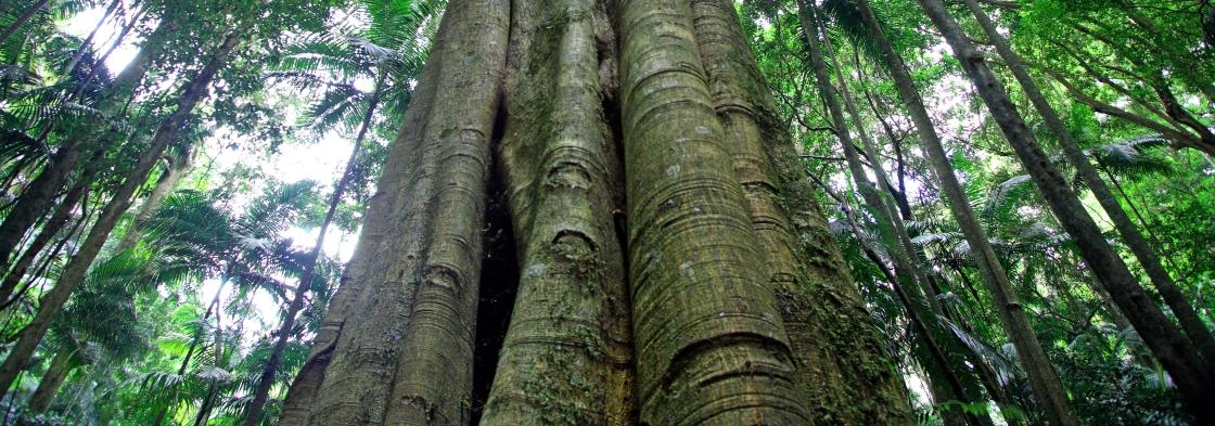Mt warning tree